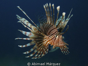 Lionfish by Abimael M&#225;rquez 